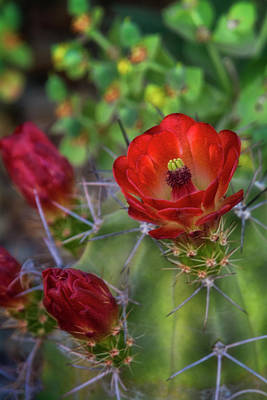 Photograph - Red Claret Cups  by Saija Lehtonen