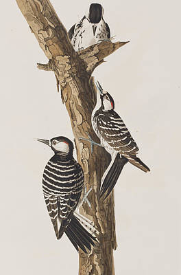 Woodpecker Painting - Red-cockaded Woodpecker by John James Audubon
