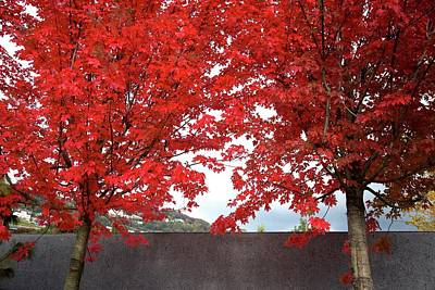 Photograph - Two Red Maples by Colleen Williams