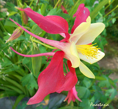 Photograph - Red Columbine Agape Gardens by Anastasia Savage Ealy