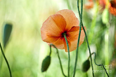 Colored Background Photograph - Red Corn Poppy Flowers 02 by Nailia Schwarz