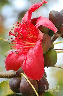 Photograph - Red Cotton Tree by Robert Meanor