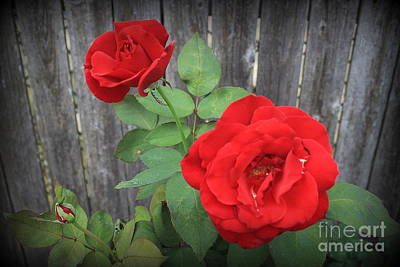 Photograph - Red Country Roses by Dora Sofia Caputo Photographic Design and Fine Art