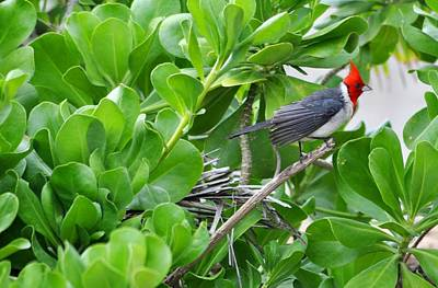 Photograph - Red-crested Cardinal by Andrew Dinh