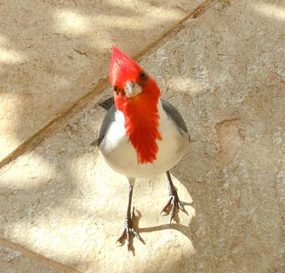 Photograph - Red-crested Cardinal At My Feet by Karen J Shine