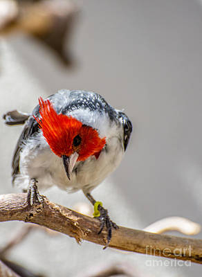 Red-crested Cardinal  Art Print by Gary Whitton