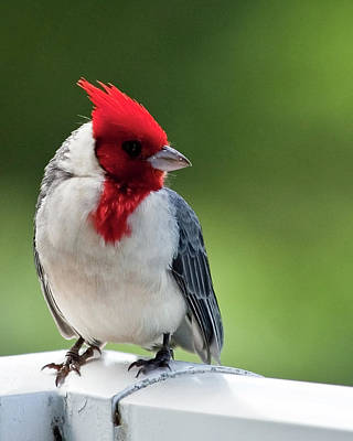 Photograph - Red-crested Cardinal On Kauai by Richard Hinds