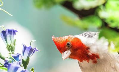 Elpaso Photograph - Red Crested Cardinal by Subhadra Burugula