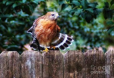 Photograph - Red Crested Hawk Still by Paul Wilford