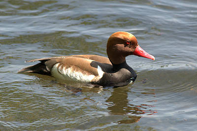 Photograph - Red-crested Pochard by Chris Day