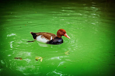 Photograph - Red-crested Pochard Duck by Sennie Pierson