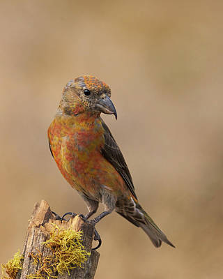 Red Crossbill Art Print by Doug Herr