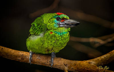 Photograph - Red-crowned Barbet by Rikk Flohr