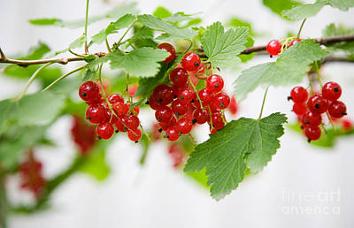 Red Currant Art Print