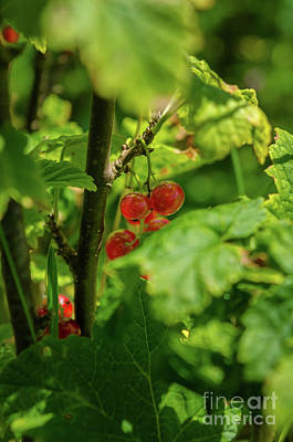 Photograph - Red Currant by Michelle Meenawong