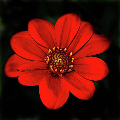 Photograph - Red Dahlia 015 by George Bostian