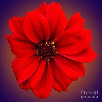 Photograph - Red Dahlia-bishop-of-llandaff by Brian Roscorla