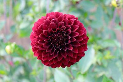 Photograph - Red  Dahlia by Brian Eberly