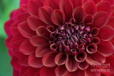 Photograph - Red Dahlia Closeup by Patricia Strand