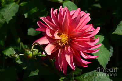 Photograph - Red Dahlia by Jeannie Rhode
