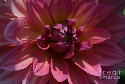 Photograph - Red Dahlia Macro by Jeannie Rhode