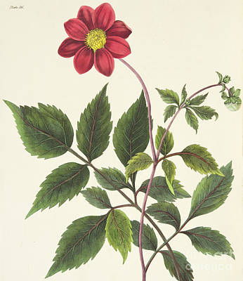 Red Flowers Drawing - Red Dahlia by Margaret Roscoe