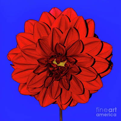 Photograph - Red Dahlia On Blue By Kaye Menner by Kaye Menner