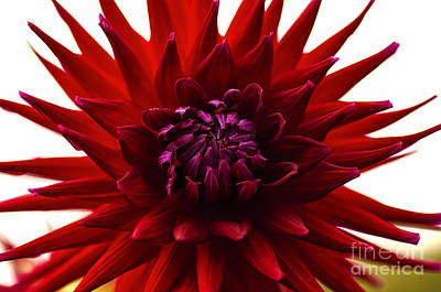 Photograph - Red Dahlia Opening by Kaye Menner