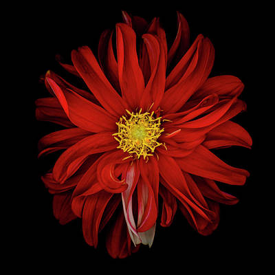 Photograph - Red Dahlia by Oscar Gutierrez