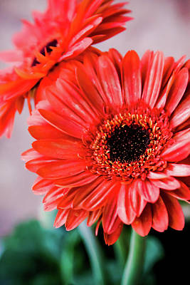Photograph - Red Daisies by SR Green