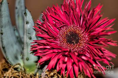 Art Print featuring the photograph Red Daisy And The Cactus by Diana Mary Sharpton