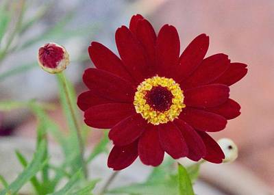 Photograph - Red Daisy Bloom by Lynda Anne Williams