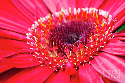 Photograph - Red Daisy by David Zanzinger