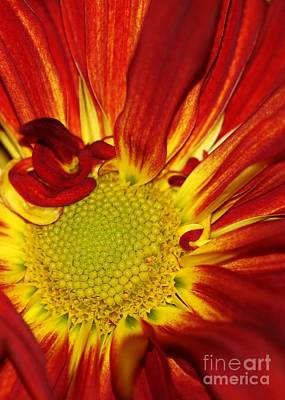 Red Daisy Print by Sabrina L Ryan