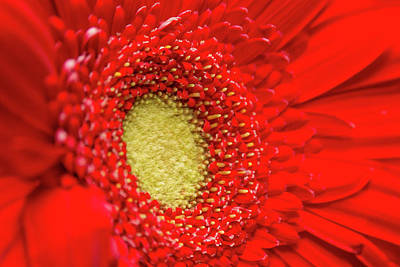 Photograph - Red Daisy by SR Green