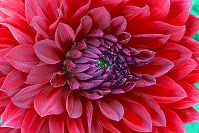 Red Dalia Up Close Original by James Steele