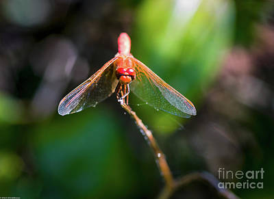 Photograph - Red Dancer by Mitch Shindelbower