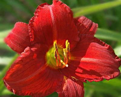Grass Roots Digital Art - Red Daylily Beauty by Kathy M Krause