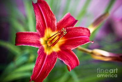 Red Daylily Art Print