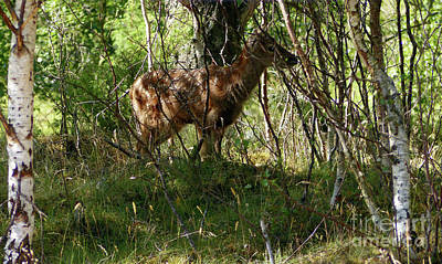 Photograph - Red Deer Calf In Coppice by Phil Banks