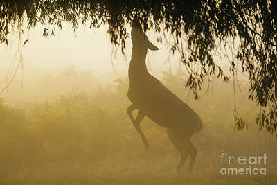 Red Deer - Cervus Elaphus - Hind Browsing Or Feeding On Willow Le Art Print