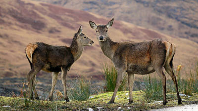 Photograph - Red Deer Fawns by Grant Glendinning