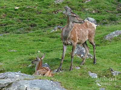 Photograph - Red Deer Hind And Calf - July by Phil Banks