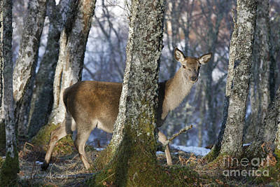 Photograph - Red Deer Hind In The Forest by Karen Van Der Zijden