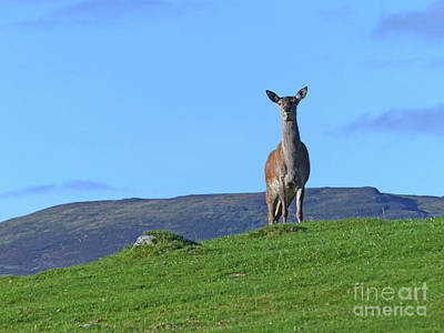 Photograph - Red Deer Hind - On Watch by Phil Banks