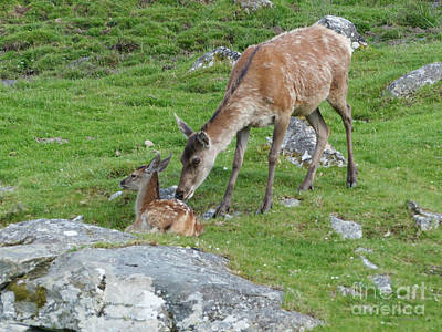 Photograph - Red Deer Hind With Calf by Phil Banks