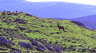 Photograph - Red Deer Hinds And Stag by Phil Banks