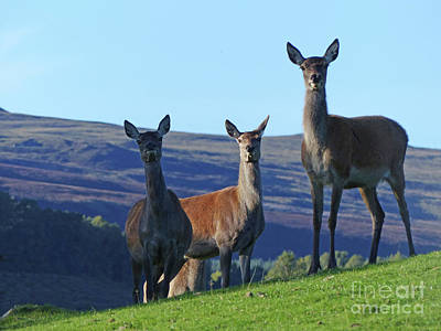 Photograph - Red Deer Hinds  by Phil Banks
