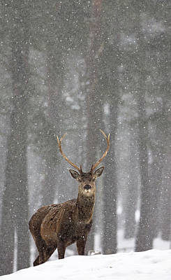 Photograph - Red Deer In A Blizzard by Peter Walkden