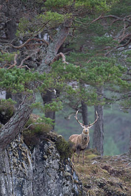 Photograph - Red Deer In Forest by Peter Walkden